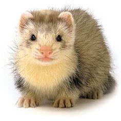 cute ferrets   Cute ferret close-up