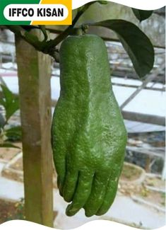 When green thumb goes too far Weird Fruit, Funny Fruit, Strange Fruit, Funny Vegetables, Fruits And Vegetables, Unusual Plants, Exotic Plants, Fruit Plants, Fruit Trees