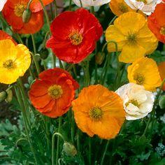 Siperianunikko mix - Viherpeukalot Spring Blooms, Summer Flowers, My Flower, Flower Power, Amazing Flowers, Beautiful Flowers, Beautiful Flower Arrangements, Garden Pests, Belleza Natural