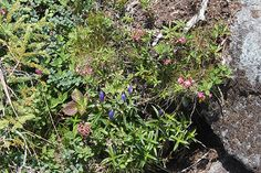 Leave No Trace: Keeping peaks clean allows alpine species to live freely and undisturbed in their natural habitat. Adirondack Camping, Alpine Plants, Habitats, Leaves, Natural, Nature, Au Natural