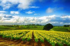 Daffodil Farm in Warragul, Victoria, Australia