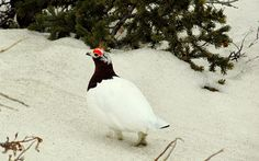 Reader caption: I spotted this male Willow Ptarmigan near the Savage River in Denali Park April 21, 2012.  —Colleen Sackinger, Fairbanks