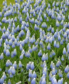 "Sparkling with the oceans infinite spectrum of shimmering blues and whites in each precious flower, Muscari Ocean Magic has a deep cobalt-blue base that gradually blends into wave-frothed white tips. Bulb size: 8 cm/up. April/May. 8"". HZ: 4-8."