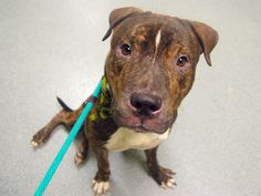 SAFE --- TO BE DESTROYED - 10/07/14  Manhattan Center   My name is KJ. My Animal ID # is A1015685. I am a male br brindle and white pit bull mix. The shelter thinks I am about 1 YEAR 7 MONTHS old. ***$150 DONATION to NEW HOPE RESCUE that pulls!!***  I came in the shelter as a OWNER SUR on 09/28/2014, owner surrender reason stated was NEW BABY.   https://www.facebook.com/photo.php?fbid=882440335102180