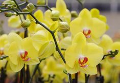 Orchid fertilization can make your blooms stay beautiful for a long time!