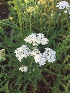 How to Use Yarrow for First Aid Home Remedy | Herbal Remedies | Healthy Herbs | My Healthy Homemade Life | #yarrow #homeremedies #herbalremedies