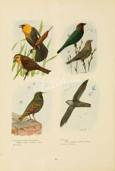 Yellow-headed Blackbird, Starling, Cowbird, Chimney Swift      ...