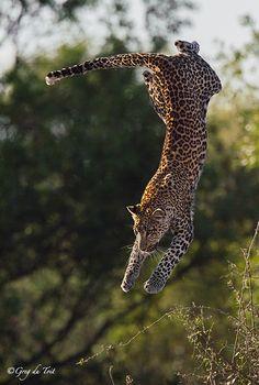 ~~Flying Leopard by greg du toit~~