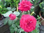 Baumschule Geiger: Rosen