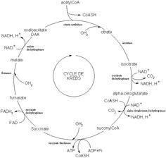 Cycle de krebs.gif