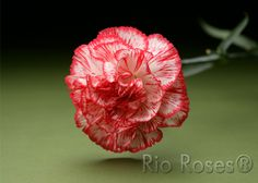 Rio Carnations® Charlie