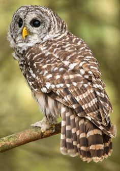 Barred Owl in Canada Owl Photos, Owl Pictures, Beautiful Owl, Animals Beautiful, Quebec, Night Owl Quotes, Owl Tattoo Meaning, Owl Who, Saw Whet Owl