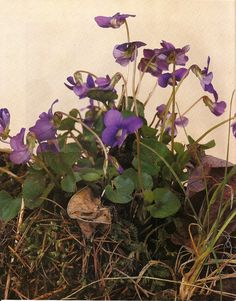 My Grandmother Mary loved growing Viola's and violets, I grow them in loving memory of her!