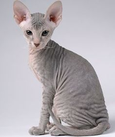Peterbald - Since it first originated in Russia in January 1994, the Peterbald has charmed cat lovers with its elegance and intelligence.