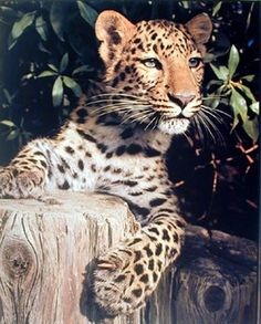 Absolutely Fabulous! Bring a touch of wild life centaury to your place by hanging this beautiful Leopard art print poster. This would be a perfect addition to your home décor and goes well with all décor style. This poster displays the image of sitting leopard staring at something which is sure to grab lot of attention. It will be a perfect addition for someone who loves wild animals. Get up! Buy this wall poster for its durable quality with wonderful color accuracy.