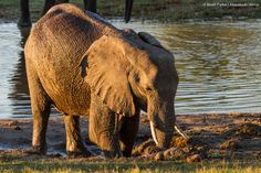 Elephant digging for mud on the Savute Channel from Savute Safari Lodge Mud, Safari, Elephant, Channel, Photos, Animals, Pictures, Animales, Animaux