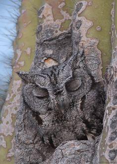 Camouflaged Western screech owl