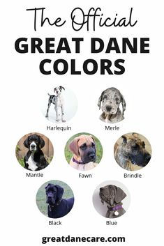 This image provides an example for each of the 7 offical Great Dane breed colors! These include harlequin, merle, mantle, fawn, brindle, black, and blue. Dane Puppies, Black Lab Puppies, Doggies, Great Dane Colors, Great Dane Information, Great Dane Puppy, Brindle Great Dane, Names Girl, Dog Grooming Business
