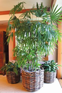 Money corner and plants. Rhapis or lady palm, potted