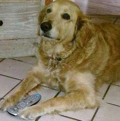 "#Lostdog 9-2-14 ""Finnegan"" #Mandarin #FL #GoldenRetriever 10yr male 904-403-8681 https://m.facebook.com/story.php?story_fbid=673275472762608&id=128776117212549"