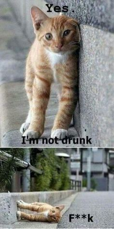 Top 10 Funny kittens im-not-drunk-cat Source Gotta love cats Source Lifelong fear of bread Source Busted Source funny cat pictures Source too Funny Animal Jokes, Cute Funny Animals, Funny Animal Pictures, Animal Memes, Funny Cute, Cute Cats, Hilarious, Animal Humor, Funniest Animals