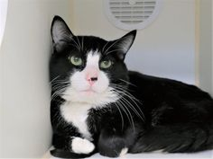 LOGAN - 18153 - - Manhattan  *** TO BE DESTROYED 01/24/18 *** Logan was brought to MACC because the owner has too many pets and they are moving. He lived with another cat and kittens and was noted to be gentle. -  Click for info & Current Status: http://nyccats.urgentpodr.org/logan-18153/