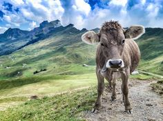 The Hoch-Ybrig is a perfect hiking paradise and in winter you'll find fantastic pistes and loads of winter fun. Vegan Animals, Farm Animals, Cute Animals, Photomontage, Fluffy Cows, Mountain Decor, Cow Painting, Cute Cows, Cow Art