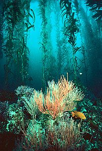 kelp forest: giant kelp with coral