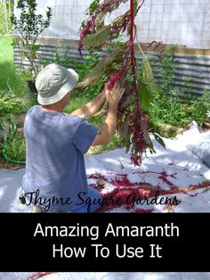 """Amazing Amaranth And How To Use It. """"The leaves of Amaranth, also called Indian Spinach are delightful eaten when small sprouts and resemble the flavor of sweet, but slightly spicy spinach."""" Looks beautiful! Amaranth Plant, Amaranth Flower, Edible Plants, Edible Garden, Organic Gardening, Gardening Tips, Amaranthus, Wild Edibles, Grow Your Own Food"""