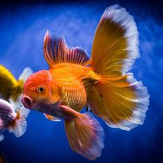 Flashy tail on this fancy Oranda goldfish. Goldfish Tattoo, Fantail Goldfish, Comet Goldfish, Goldfish Tank, Underwater Creatures, Ocean Creatures, Freshwater Aquarium, Aquarium Fish, Koi