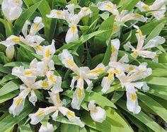 Iris cristata 'Montrose White'