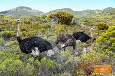 Wild Ostriches near Cape Point - South Africa