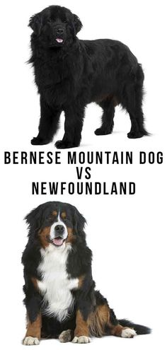 Bernese Mountain Dog vs Newfoundland - Which Giant Breed Is Right For You? Bernese Mountain, Mountain Dogs, Big Dogs, Large Dogs, Purebred Dogs, Large Dog Breeds, Dog Pin, Happy Puppy, New Puppy