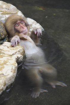 Relaxed in the Hot Spring, Snow Monkeys living in Jigokudani, Nagano