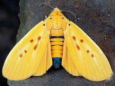 Polilla de Tigre Amarilla