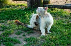 Fungos nos gatos - Sintomas e tratamento - PeritoAnimal