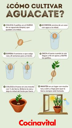 Cómo sembrar un hueso o semilla de aguacate en maceta - Cocina Vital - ¿Qué cocinar hoy? Eco Garden, Home Vegetable Garden, Fruit Garden, Edible Garden, Garden Plants, Growing Plants, Growing Vegetables, Green Life, Plant Care