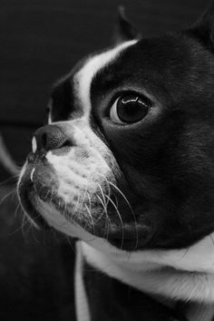 Hello there baxter the boston terrier :)