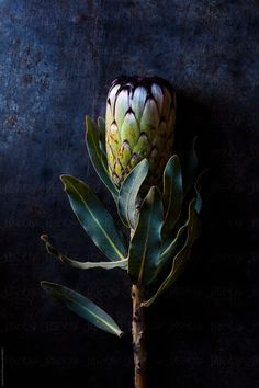Protea neriifolia South African flower by Nadine Greeff for Stocksy United - Lambert and Leaf - African Food South African Flowers, South African Art, African Plants, Protea Flower, African Art Paintings, Flower Close Up, Contemporary African Art, Australian Plants, Floral Photography