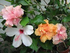 Picture 036 - Hibiscusi 2011