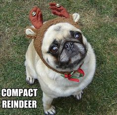 Funny Pug Dog Meme Pun LOL (Our Bailey Puggins playing Santa's Reindeer)