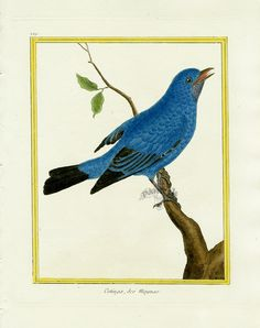 Martinet c1770's: Cotinga des Maynas. Plum-throated Cotinga---part of my friend (and Pinterest friend) Gay Tice's amazing collection!  stunning.