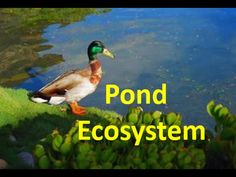 pond life lesson plans for preschool instructions guide, pond life lesson plans for preschool service manual guide and maintenance manual guide on your products. Ecosystem Activities, Ecosystems Projects, Nature Activities, Science Activities, Activities For Kids, Science Ideas, Kindergarten Science, Teaching Science, Pond Habitat