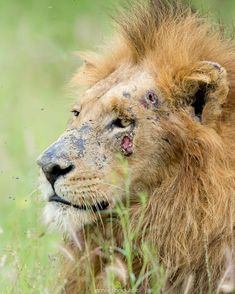 """Marlon du Toit  (@marlondutoit) on Instagram: """"A male lion looks a little worse for wear after a few heated interactions. I'm not exactly exactly sure what caused his battle scars but he healed up pretty quickly.  Animals in the wild have a remarkable ability to heal from injuries far worse than what you see here."""""""