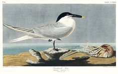 Sandwich Tern from Birds of America (1827) by John James Audubon (1785 - 1851), etched by Robert Havell (1793 - 1878). The original Birds of America is the most expensive printed book in the world and a truly awe-inspiring classic. Free public domain | www.rawpixel.com Birds Of America, North America, University Of Pittsburg, Audubon Prints, John James Audubon, Vintage Birds, Free Illustrations, Bird Prints, Free Images