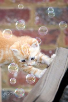 Cute Cats - Kitten and Bubbles Baby Orange Kittens, Orange Cats, Baby Kittens, Cute Cats And Kittens, I Love Cats, Crazy Cats, Kittens Cutest, Fluffy Kittens, Baby Animals