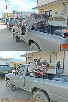 Only in Alaska do you take your pet Caribou out for a ride on the town. How cool! Thanks Roy Smith for the photos he snapped while in Nome, Alaska!