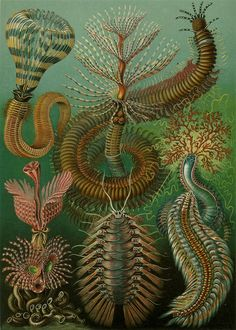 Cave to Canvas, Ernst Haeckel, Chaetopoda, 1904