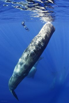 sperm whale... To see one of these in person would be SO cool!