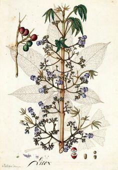 Vitex. Proyecto de digitalización de los dibujos de la Real Expedición Botánica del Nuevo Reino de Granada (1783-1816), dirigida por José Celestino Mutis: www.rjb.csic.es/icones/mutis. Real Jardín Botánico-CSIC.